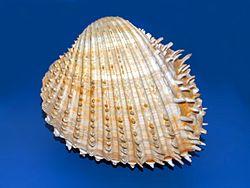 Cardiidae - Acanthocardia aculeata.JPG