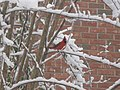 Cardinal on a frozen branch - panoramio.jpg