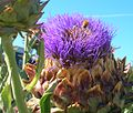 Cardoon with bees.jpg