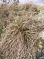 Carex humilis sl4.jpg