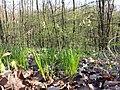 Carex montana sl2.jpg