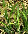 Carex pendula plant (36).jpg