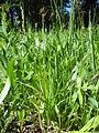 Carex raynoldsii (7509928986).jpg