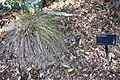 Carex testacea - Leaning Pine Arboretum - DSC05814.JPG