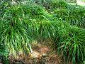 Carex wahuensis subsp. wahuensis (5187970928).jpg