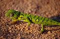 Carpet Chameleon (Furcifer lateralis) (10292845744).jpg