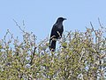 Carrion Crow, at Radipole Lakes RSPB Reserve - geograph.org.uk - 1232415.jpg