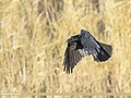 Carrion Crow (Corvus corone) (50788212998).jpg