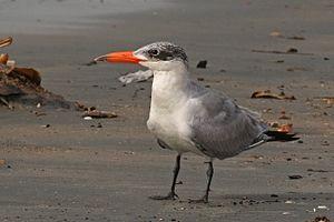 Caspian tern - non-breeding plumage Gambia