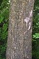 Catalpa bignonioides in Jardin botanique de la Charme.jpg
