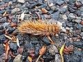 Caterpillar - Flickr - GregTheBusker (5).jpg