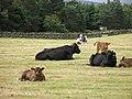 Cattle, Eastgate - geograph.org.uk - 1131273.jpg