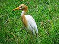 Cattle egret(Bagula) 04.jpg