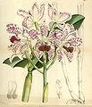 Cattleya amethystoglossa - Curtis' 94 (Ser. 3 no. 24) pl. 5683 (1868).jpg