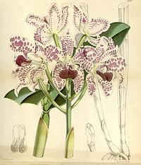 Cattleya amethystoglossa - Curtis' 94 (Ser. 3 no. 24) pl. 5683 (1868)