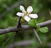Catunaregam spinosa (Mountain Pomegranate) flower W IMG 9083.jpg