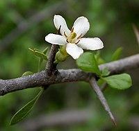 Catunaregam spinosa (Mountain Pomegranate) flower W IMG 9083