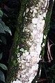 Cecropia obtusifolia 20zz.jpg