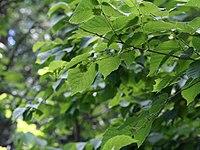 Celtis occidentalis 08840.jpg