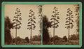 Century Plant in bloom, Southern California, from Robert N. Dennis collection of stereoscopic views.png