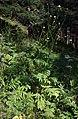 Cephalaria gigantea 5.jpg