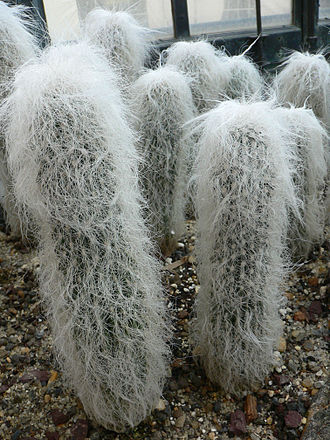 Arachnoid (botany) - Cephalocereus senilis is an example of a long-lasting, robust arachnoid effect created by modified spines
