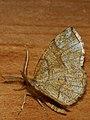 Cepphis advenaria - Little thorn - Каёмчатая пяденица черничная (27050861288).jpg