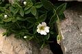 Cerastium carinthiacum ssp. austroalpinum PID1484-2.jpg