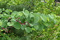 Cercis siliquastrum leafes.JPG