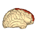 Cerebrum - superior frontal gyrus - lateral view.png