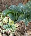 Cerinthe major détail des fleurs -Bov , mars 2021 - P1050033 -.jpg