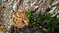 Cerioporus squamosus In Yerevan 02.jpg