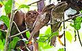 Ceylon Frogmouth by N.A. Naseer.jpg
