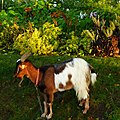 Chèvre des fossés - jardin des Tuileries.jpg