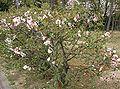 Chaenomeles lagenaria4.jpg