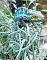 Chamaeleonidae-Furcifer pardalis a.jpg