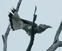 Channel-billed Cuckoo Dec07 Kobble.JPG
