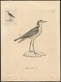 Charadrius pecuarius - 1700-1880 - Print - Iconographia Zoologica - Special Collections University of Amsterdam - UBA01 IZ17200247.tif