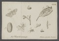 Cheimatobia - Print - Iconographia Zoologica - Special Collections University of Amsterdam - UBAINV0274 058 01 0082.tif