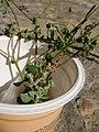 Chenopodium vulvaria inflorescence (29).jpg
