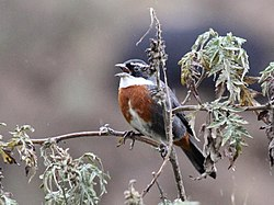 Chestnut-breasted Mountain-Finch (Poospiza caesar).jpg