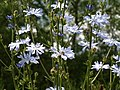 Chicory, Long Bridges Nature Park - geograph.org.uk - 872337.jpg