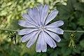 Chicory (Cichorium intybus) - Kitchener, Ontario.jpg