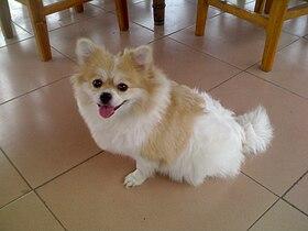 Chinese Pomeranian.jpg