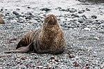 Chinstrap Seal Half Moon Island Antarctica (47284180972).jpg