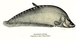 Cá nàng hai (Chitala chitala)