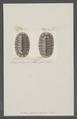 Chiton peruvianus - - Print - Iconographia Zoologica - Special Collections University of Amsterdam - UBAINV0274 081 06 0032.tif