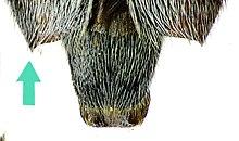 Chlorophorus figuratus detail.jpg