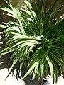 Chlorophytum comosum cv variegatum 2.jpg