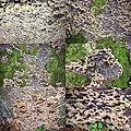 Chondrostereum purpureum (GB=Purple silverleaf, D= Violetter Knorpelschichtpilz, NL= Paarse korstzwam) white spores and causes Silver leaf disease (loodglanszi - panoramio.jpg